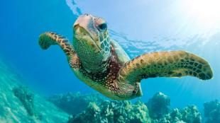 green-sea-turtle-swimming.ngsversion.1416513763093.adapt.1900.1